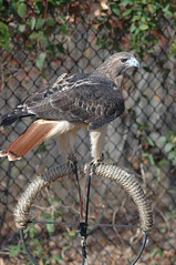 Hawk (Porch Dog) Tags: nikond70 hawk kentucky 2006 landbetweenthelakes lbl betweentherivers garywhittington