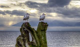 Just gulls.........