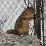 Squirrels at the University of Michigan (February 11, 2015) thumbnail