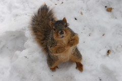 250/365/2441 (February 16, 2015) - Squirrels on a Very Cold Winter's Day at the University of Michigan (February 16, 2015) (cseeman) Tags: squirrels annarbor michigan animal campus universityofmichigan umsquirrels02162015 winter eating peanut snow cold lawquad michiganlawquad 2015project365coreys yearsevenproject365coreys project365 p365cs022015 februaryumsquirrel gobluesquirrels umsquirrel foxsquirrels easternfoxsquirrels michiganfoxsquirrels universityofmichiganfoxsquirrels