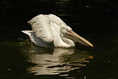 Dalmatian Pelican (fantommst) Tags: park bird singapore large conservation pelican massive jurong dalmatian singapur sanctuary largest status vulnerable pelecanus crispus lisaridings fantommst