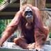 "Orangutan • <a style=""font-size:0.8em;"" href=""http://www.flickr.com/photos/128593753@N06/16536952765/"" target=""_blank"">View on Flickr</a>"