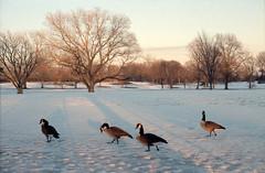 Geese (dtanist) Tags: new york city nyc newyorkcity trees snow newyork canada bird film beach birds brooklyn analog canon golf 50mm geese kodak flock goose course 100 a1 heights fd dyker ektar