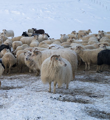 DSC01419 (ekremenak) Tags: photo iceland sheep 1502 150212