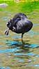 SWAN PREENING (Rose Frankcombe) Tags: preening australia tasmania blackswan launceston firstbasin cataractgorgereserve rosefrankcombe