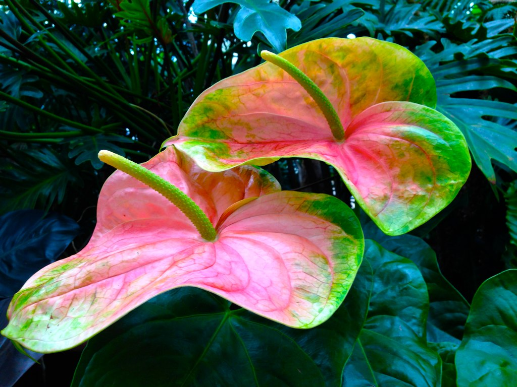 the world u0027s best photos of anthurium and variegated flickr hive mind