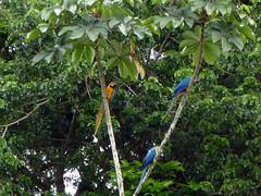 Macaws in Iwokrama