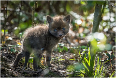 Fox cub (pstani) Tags: uk england animal cub fox cambridgeshire redfox vulpesvulpes foxcub paxtonpits littlepaxton