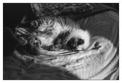 sleeping ragdoll  #004 (lynnb's snaps) Tags: bw film leicaiiic summicron5cmf2collapsibleltm agfa apx100 rodinal sydney cats ragdoll sleeping blackandwhite 50mm rangefinder upgradetofilm v700 blackwhite bianconero noiretblanc monochrome schwarzweis biancoenero 黒と白 bianconegro leica analogue analog lynnburdekinphotography 35mmfilm leicasummicron50mmf20collapsibleltm ©copyrightlynnburdekinallrightsreserved barnack