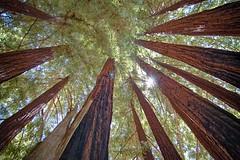 big basin redwoods (... Marlo Lao) Tags: marlolao bigbasin redwoodtrees california nikond40