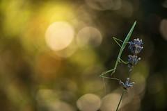 Phasme ( Pijnackeria masettii ) (aeyuio) Tags: light wild macro nature alpes bug nikon bokeh lumire wildlife nikkor insecte phasmatodea phasme alpesmaritimes kenko nikon105vr verophasmatodea pijnackeriahispanica nikond750 pijnackeriamasettii