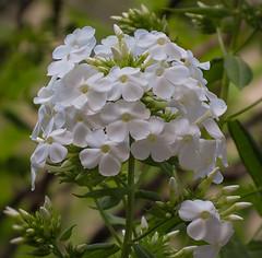 Phlox paniculata 'David' (mahar15) Tags: plant phlox flower flowers nature outdoors bloom phloxpaniculatadavid whiteflower whitephlox
