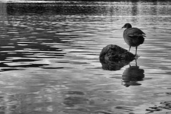 Coot (Lumase) Tags: coot bird bw monochrome lake water ripples reflections