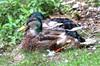 Mallard nearly lost all breeding plumage...6O3A3720_1_2_tonemapped (dklaughman) Tags: ducks mallard ohio photomatix hdr thebestofhdr