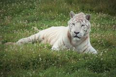 tigre blanc (Sylvie GONANO) Tags: parcdesflins tigreblanc