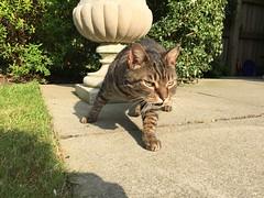 IMG_1010 (deniseclark4) Tags: pet sun green urn cat eyes patio spy stalk creep manx
