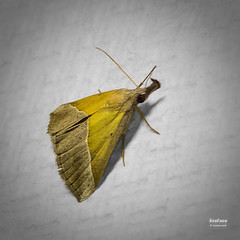 Hypena lividalis (Hbner, 1796) (EcoFoco juanma.coria) Tags: espaa naturaleza macro fauna testing verano insecto polilla comunidadvalenciana invertebrado alfafara sierramariola parquenaturalsierramariola hypenalividalishbner1796