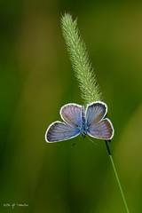 Bleu (jpto_55) Tags: papillon argusbleu macro bokeh xe1 fuj fujifilm fujixf55200mmf3548rlmois hautegaronne france