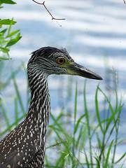 Crowned Night Heron (bamboosage) Tags: smc pentaxda 300 f4 ngc