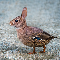 Rabbuck (Repp1) Tags: fauna animals animaux rabbit lapin duck cannard morphed morphedanimals composite