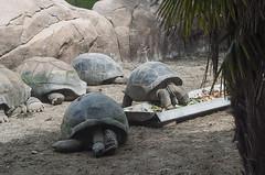 Tartaruga gigante (querin.rene) Tags: renéquerin qdesign parcolecornelle parcofaunistico lecornelle animali animals tartarugagigante seychelles