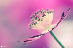 Euphoria (Trayc99) Tags: pink flower macro flora colourful floralart beautyinnature softbackground beautyinmacro