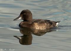 Female Tufted Duck (stevebarrett61) Tags: tufted duck