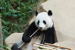 Feng Yi aka Liang Liang 2016-06-16 (kuromimi64) Tags: zoonegara malaysia   zoo nationalzoo zoonegaramalaysia kualalumpur  bear   panda giantpanda     fengyi  liangliang nuannuan