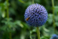 SLN_1605514 (zamon69) Tags: bi blomma blue bl flower hornet eslv skne sweden se