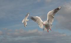 (glendamaree) Tags: seagulls bird beach nature birds seaside seagull gulls