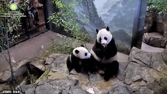 2016_07-20d (gkoo19681) Tags: nationalzoo sohappy stealing meixiang beibei unfortunateevents sharingiscaring yummyapple ccncby