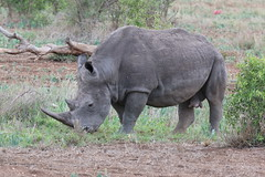 The ever endangered White Rhino, Kruger National Park South Africa (Abspires40) Tags: krugerpark krugernationalpark kruger knp animals animalsofthekruger wildlife birds birdsofthekruger birdsofkruger scenic nature southafrica