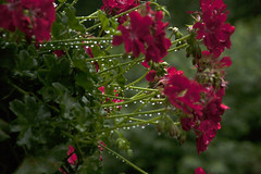 Water Drops on Geraniums (ToddG58) Tags: waterdrops water drops flowers canon canon5d stems geraniums redgeraniums