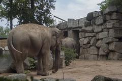 Elefante indiano (querin.rene) Tags: renéquerin qdesign parcolecornelle parcofaunistico lecornelle animali animals elefanteindiano elefante india asia