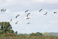 untitled (robwiddowson) Tags: nature natural wildlife birds lapwing otmoor oxfordshire robertwiddowson photo photograph photography image picture