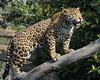 Wild Thing (Penny Hyde) Tags: bigcat jaguar sandiegozoo flickrbigcats