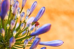 wonderful ladybug - chinita (Daniela Parra F.) Tags: macro macrophotography macroshots microworld colours colors colores flor flores flower flowers