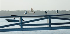 I'm off! Give us a kiss, Luv! (smilla4) Tags: bird seagull flight boat dock maquoitbay merepoint maine kiss