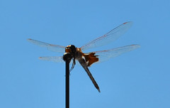 2016-08-28 (19) dragonfly on truck's an aerial (JLeeFleenor) Tags: photos photography md maryland horseshow gambrills fauna dragonfly insects wings flight gossamerwings