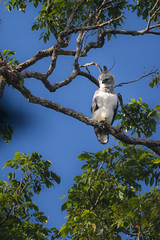 Harpy eagle  (Harpia harpyja) (sebastiandido) Tags: harpy eagle bird brasil brazil nikon d7100 55300mm amazon animal wildlife aguila harpia naturaleza palmari