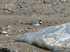 Ringed Plover (chdphd) Tags: charadriushiaticula charadrius ringedplover plover stonehaven aberdeenshire kincardineshire