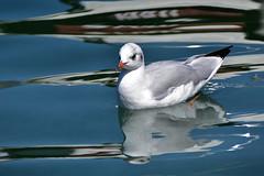 Mouette et reflets (Diegojack) Tags: nikon nikonpassion d7200 mouettes eau léman reflets morges oiseaux