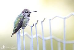 juvenile_male_Anna's_hummingbird (Lisa Snow Photography) Tags: hummingbird maleannas