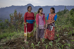 Women farmer Buddisara Paudel weeds her maize with daughter-in-law Devi Paudel and neighbor Man Kumari Raskoti in Bayalkanija, Surkhet. (CIMMYT) Tags: nepal csisa cimmyt maize agriculture smallholder farmer mechanization asia
