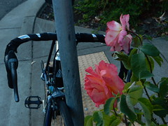 Stripes (Casey Cruse) Tags: bike bicycle roses rose stripes sunset love leaning flower flowers city street angle reflection