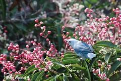 . @Regrann del da para @patoriveraj - Manizales, Caldas, Colombia - #sunday #morning #bird #azulejo #enmicolombia (EnMiColombia.com) Tags: foto regrann del da para patoriveraj manizales caldas colombia sunday morning bird azulejo