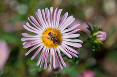 (JOAO DE BARROS) Tags: barros joo botany flower bee insect