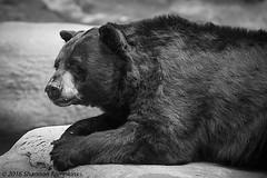 Bare Bear (Shannon Tompkins) Tags: cincinnati zoo canon 5d mark iii 70200mm 2x extender animal big carnivore outdoor mammal baclk white bear