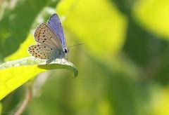 L'Azuré des coronilles ( Plebejus argyrognomon ) Sancerrois (Christelle Jaëgy) Tags: christellejaëgy papillon butterfly papillons papillonsducher plebejusargyrognomon azurédescoronilles berry
