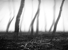 - s i l e n t f o g - (swaily ◘ Claudio Parente) Tags: fog bn bw blackandwhite tree nebbia alberi nikond300 nikon swaily claudioparente
